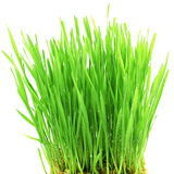 Fresh wheat grass sprouted in white background Royalty Free Stock Photography