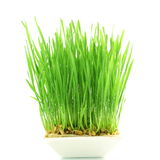Fresh wheat grass sprouted in white background Royalty Free Stock Images