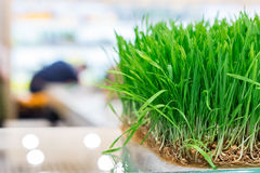 Fresh wheat grass Royalty Free Stock Images