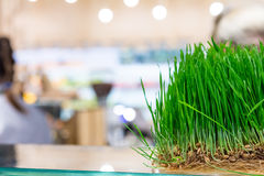 Fresh wheat grass Stock Image