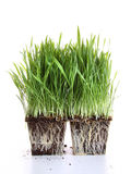Fresh wheat grass on white Stock Photo