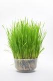 Fresh wheat Stock Photos
