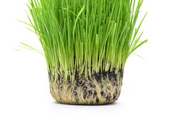 Fresh wheat Royalty Free Stock Photography