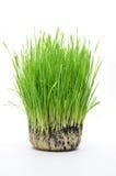 Fresh wheat Stock Images