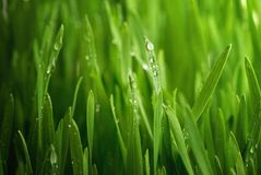 Fresh wheat plant Royalty Free Stock Photo