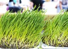 Fresh Wheatgrass for Juicing Stock Photo