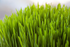 Fresh wheatgrass for juicing Stock Images