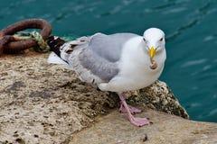 Fresh Whelks For Breakfast. Herring gull at the harbour enjoying a breakfast of fresh whelks Stock Photos