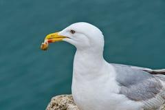 Fresh Whelks For Breakfast. Herring gull at the harbour enjoying a breakfast of fresh whelks Stock Photo