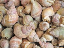Fresh whelks on sale in  market Royalty Free Stock Image