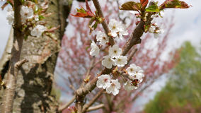 Fresh white apple blossom on a tree. Fresh white apple blossom growing on the branch of a tree in an orchard with sprouting new leaves symbolic of spring and the Royalty Free Stock Photos