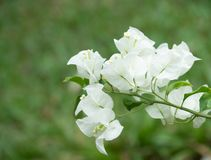 Fresh white Bougainvillea in full bloom on natural green background stock photography