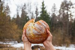 Fresh white bread on the background of the forest breaking open women`s hands stock photography