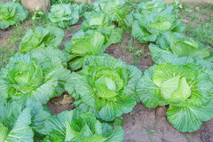 Fresh white Cabbage,brassica oleracea Royalty Free Stock Photography