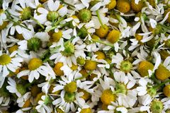 Fresh white chamomile flowers. Flower background. Collected chamomile flowers. Matricaria chamomilla royalty free stock image