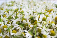 Fresh white chamomile flowers. Flower background. Collected chamomile flowers. Matricaria chamomilla stock photo