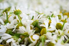 Fresh white chamomile flowers. Flower background. Matricaria chamomilla. Plant of the flower stock photo
