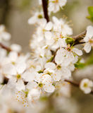 Fresh white cherry flowers arrival Stock Photography