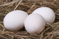 Fresh white chicken eggs in a fragrant meadow hay Stock Image