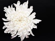 Fresh white chrysanthemum Stock Photography