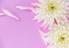 Fresh white chrysanthemum flower pink background. Fresh white chrysanthemum flower on pink background royalty free stock image