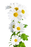 Fresh white chrysanthemum like  chamomiles is isolated on white Stock Images