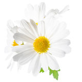 Fresh white chrysanthemum like chamomiles is isolated on white Royalty Free Stock Image