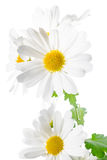 Fresh white chrysanthemum like chamomiles is isolated on white Royalty Free Stock Images