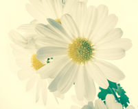 Fresh  white chrysanthemums like chamomiles, vintage style Stock Photo