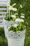 Fresh white daisies in the garden Stock Image