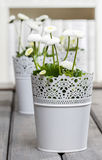 Fresh white daisies in library Royalty Free Stock Photo