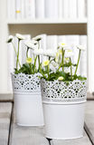 Fresh white daisies in library Royalty Free Stock Images