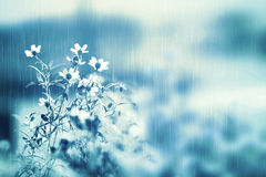 Fresh white daisy flower in soft light and heavy rain with copy Royalty Free Stock Photo