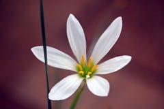 Fresh white floret on the dark background. Photo Royalty Free Stock Photography
