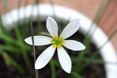 Fresh white floret in the white flowerpot. Photo Royalty Free Stock Images