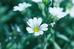 Fresh and white flower on summer field. Blooming wild plant. Fresh and white flower on summer field. Blooming wild plant in meadow. Beautiful white floral stock photo