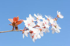 Fresh white flowers on branch spring cherry Royalty Free Stock Photo