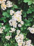 Fresh white flowers and green leaves,clematis, jasmine or wild rose bush. Beautiful tender shrub with flowers in sunny light in. Garden. Hello spring royalty free stock photo
