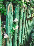 Fresh white flowers and green leaves on old wooden fence,clematis, jasmine or wild rose bush. Beautiful tender shrub with flowers. In sunny light in garden royalty free stock photo
