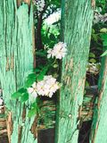 Fresh white flowers and green leaves on old wooden fence,clematis, jasmine or wild rose bush. Beautiful tender shrub with flowers. In sunny light in garden royalty free stock photography