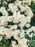 Fresh white flowers and green leaves, spiraea bush. Beautiful tender shrub with flowers in garden. Hello spring stock photo