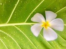 Fresh white frangipani flower put on big green leaf with water drop. royalty free stock photo