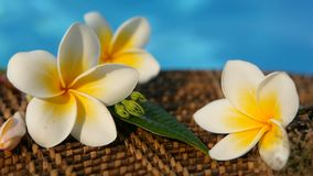 Fresh white frangipani plumeria tropical exotic flowers over blue swimming pool water. Background spa still life, travel and tourism, concept of a summer stock video