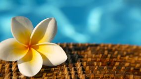 Fresh white frangipani plumeria tropical exotic flowers over blue swimming pool water. Background spa still life, travel and tourism, concept of a summer stock video footage