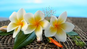 Fresh white frangipani plumeria tropical exotic flowers over blue swimming pool water. Background spa still life, travel and tourism, concept of a summer stock footage