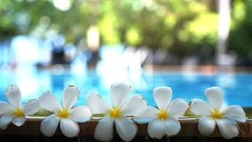 Fresh white frangipani plumeria tropical exotic flowers over blurred swimming pool water and tree of frangipani. Concept. Of a summer paradise vacation and stock video footage