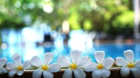Fresh white frangipani plumeria tropical exotic flowers over blurred swimming pool water and tree of frangipani. slow. Fresh white frangipani plumeria tropical stock video