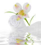Fresh white lily. Isolated on white in water royalty free stock photography