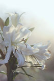 Fresh white lily bouquet in soft light Stock Photography