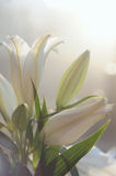 Fresh white lily in the garden in soft light Royalty Free Stock Photo